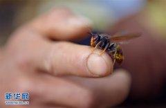 湖北恩施:养胡蜂的农民们