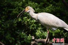 濒危物种朱�在华南繁育成150多只种群